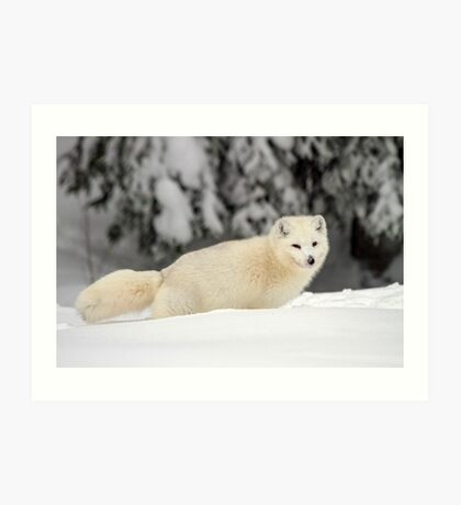 Arctic Wolf (Canis lupus arctos), also called snow wolf or white wolf Art Print
