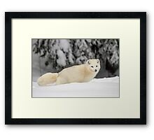 Arctic Wolf (Canis lupus arctos), also called snow wolf or white wolf Framed Print