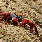 Sally Lightfoot Crab by Steve Bulford