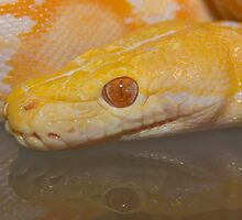 Albino Reticulated Python by reptilesink