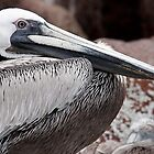 Brown Pelican II by Steve Bulford