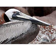 Brown Pelican II Photographic Print