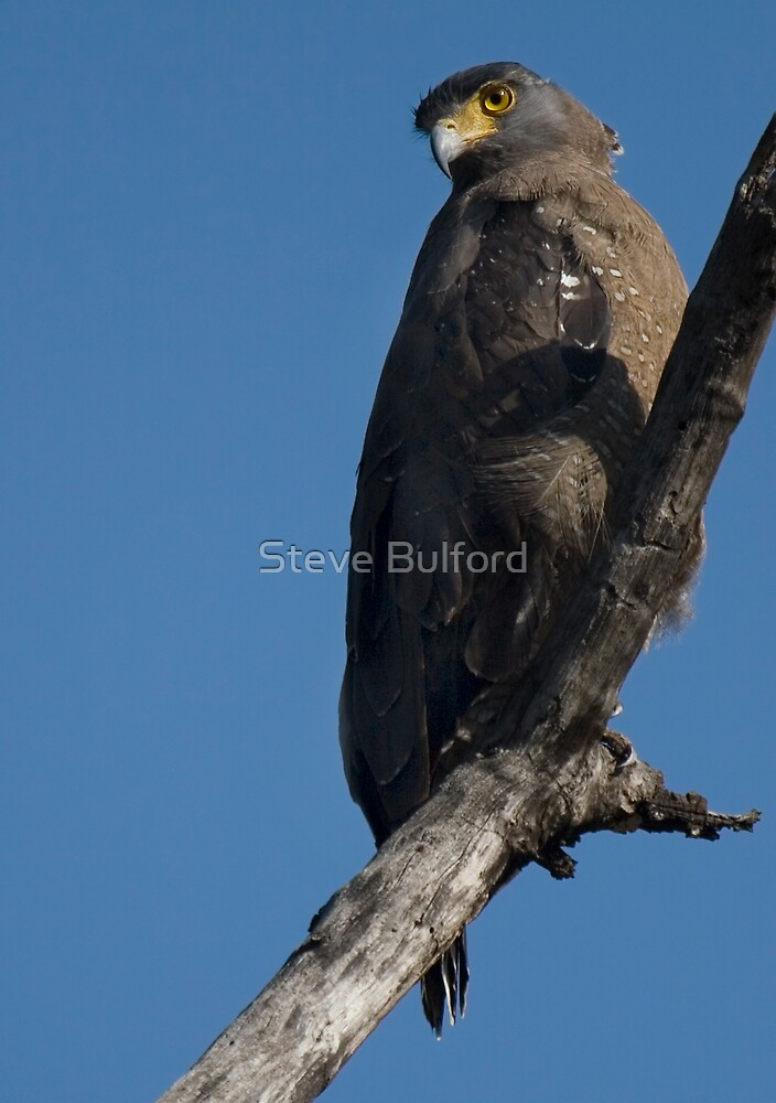 Crested Serpent Eagle by Steve Bulford