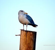 Larus Delawarensis - Ring-Billed Gull | Center Moriches, New York  by © Sophie W. Smith