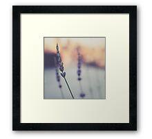 Lavenders Framed Print