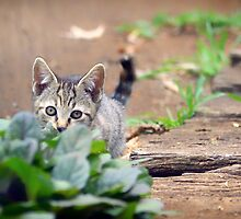 Kitten on an Adventure by Clare Colins