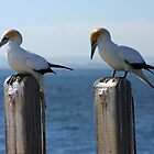 Wildlife : Birds - Australian Gannet 'Sula Serrator' by Bee Dee