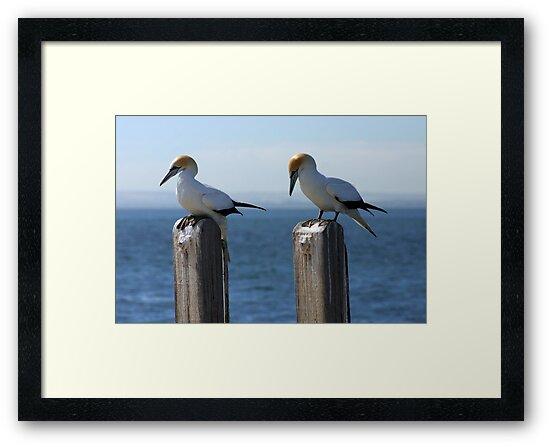 Wildlife : Birds - Australian Gannet 'Sula Serrator' by boudidesign