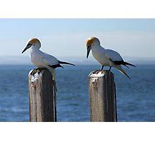 Wildlife : Birds - Australian Gannet 'Sula Serrator' Photographic Print