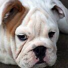 Barney the Bulldog by gisondan