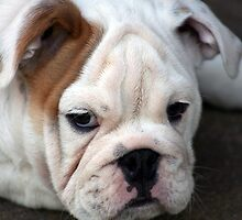 Barney the Bulldog by gisondan