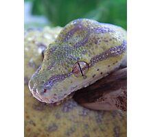 Juvenile Green Tree Python Photographic Print