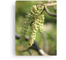 First Catkins of Spring Canvas Print