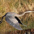 Great Blue Heron - Takeoff by Sheryl Hopkins