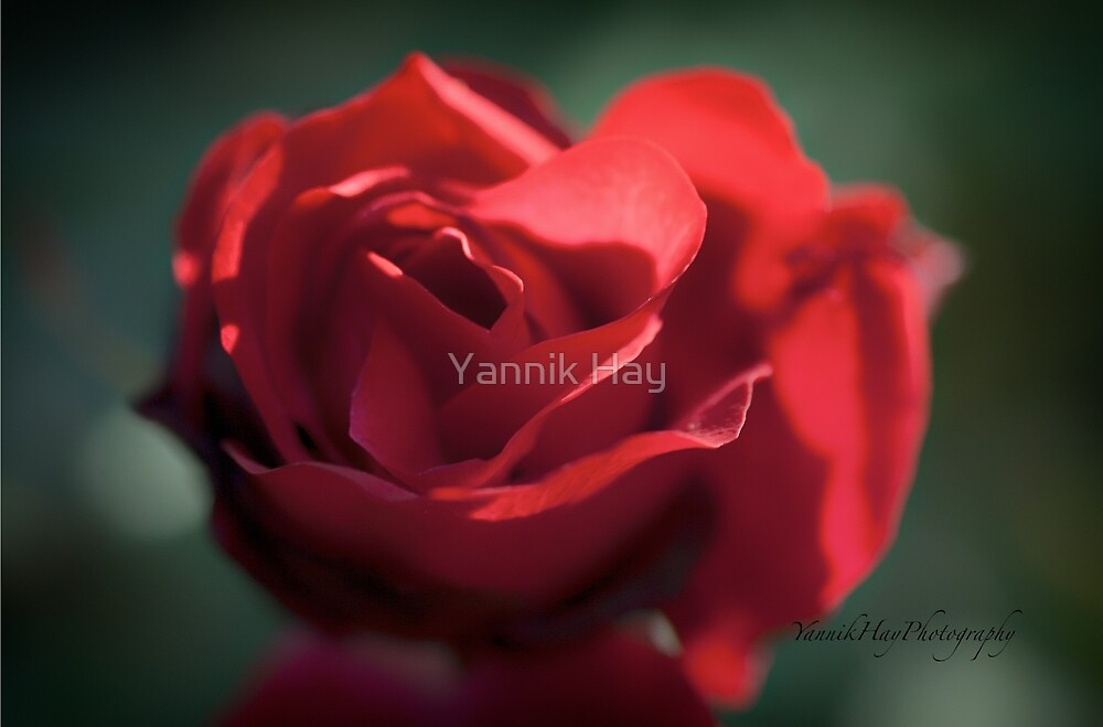 A Red Rose For My Love by Yannik Hay