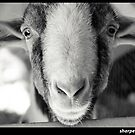 Goaty McGoatington by Darrell Sharpe