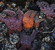 Starfish by Lacey Kirsch