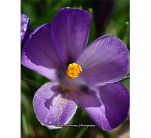 Purple Spring Flower Photographic Print