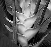 Heliconia by David Thibodeaux