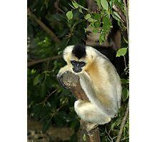 White Cheek Gibbon. Photographic Print