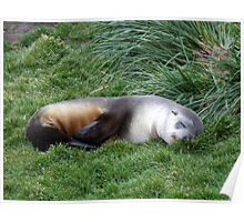 Sleepy Seal Poster