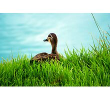 Duck in the Grass - Stephenson Park, Mount Barker, South Australia Photographic Print