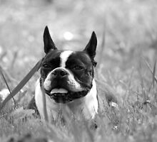 Quorra the Boston Terrier in the field  by NerdFox