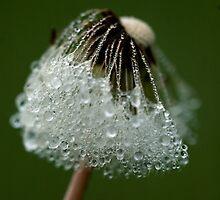 dandelion dew by narabia