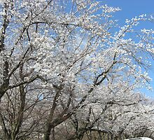 Sakura in Suigen Park2 by mindscribbler