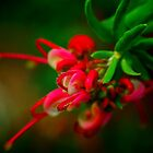 Bauer's Grevillea. by Bette Devine