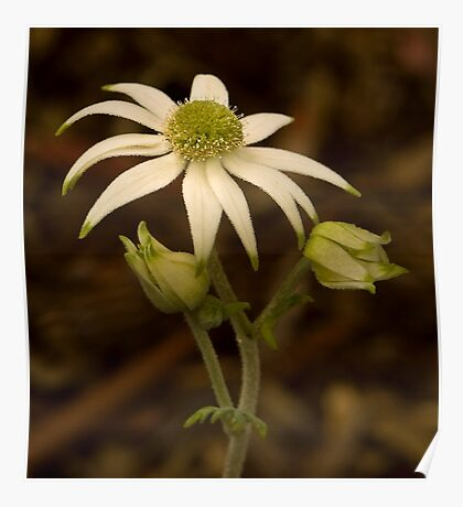 Flannel Flower Poster