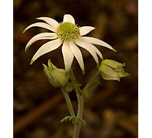 Flannel Flower Photographic Print