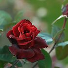 Rose of Autumn by Irina777