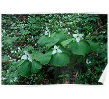 Sweet White Trilliums Poster