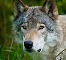 Timber Wolves - Gray Spirit Of The Forest 8 by WolvesOnly