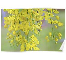 Golden Yellow Blossoms (Cassia Fistula Tree) Poster