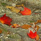 Red Leaves of Autumn by Kristi Lockwood
