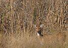 Spotted Deer by Steve Bulford