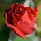 Red Rose Bloom by Ben Herman