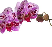 Purple Phaleanopsis Orchid on white background by PhotoStock-Isra