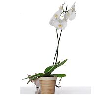White Phaleanopsis Orchid on white background with kitten  by PhotoStock-Isra