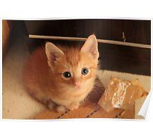 Ginger kitten Poster