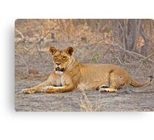 Pardon me, Your Lioness! Canvas Print