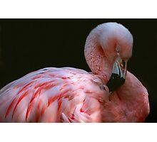 Preening Flamingo Photographic Print