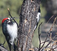 Red Capped Woodpecker  by Farrah Weston