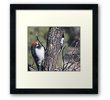Red Capped Woodpecker  Framed Print
