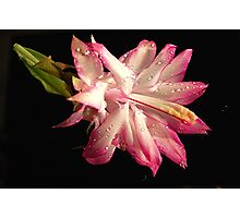 Zygocactus Photographic Print