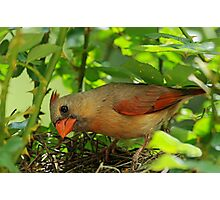 Mrs. Cardinal enters the nest Photographic Print
