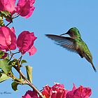 Hummer at boganvillia by Jerry  Mumma