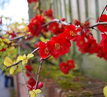 Red Flowers by helenhelen